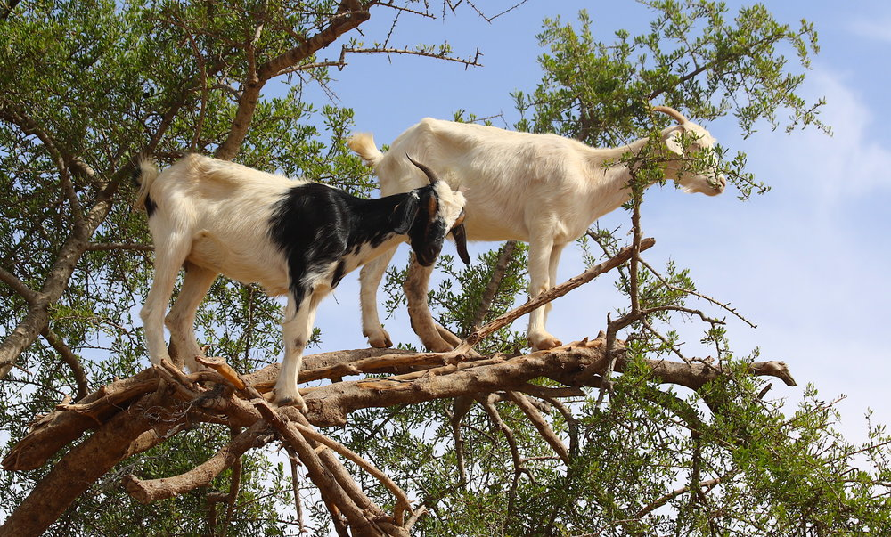Some goats in Morocco that help make Argan oil